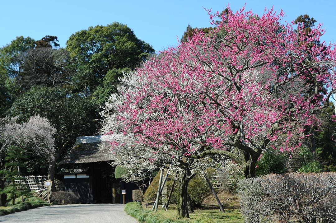 東洋の思想「陰陽」の世界を体感できる 偕楽園(茨城)