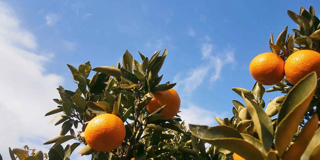 こんなにあるの? 種類が豊富すぎる愛媛の柑橘類