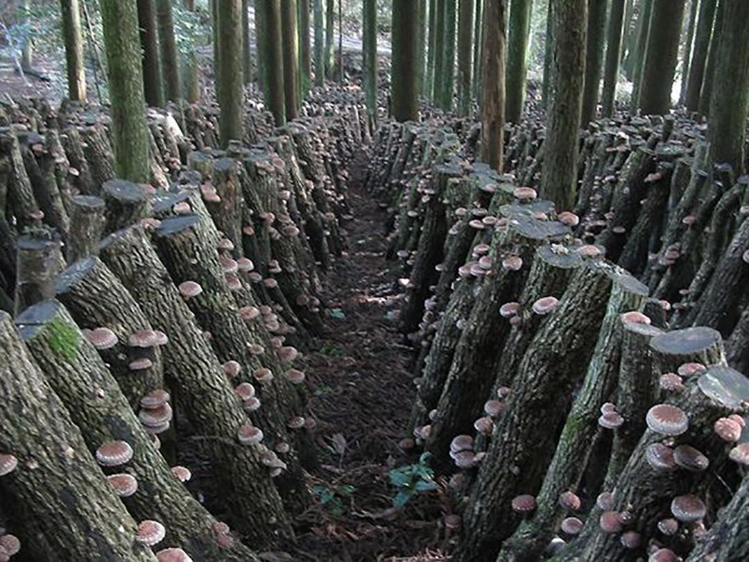 旨さの秘訣は、「原木栽培」と「乾燥技術」