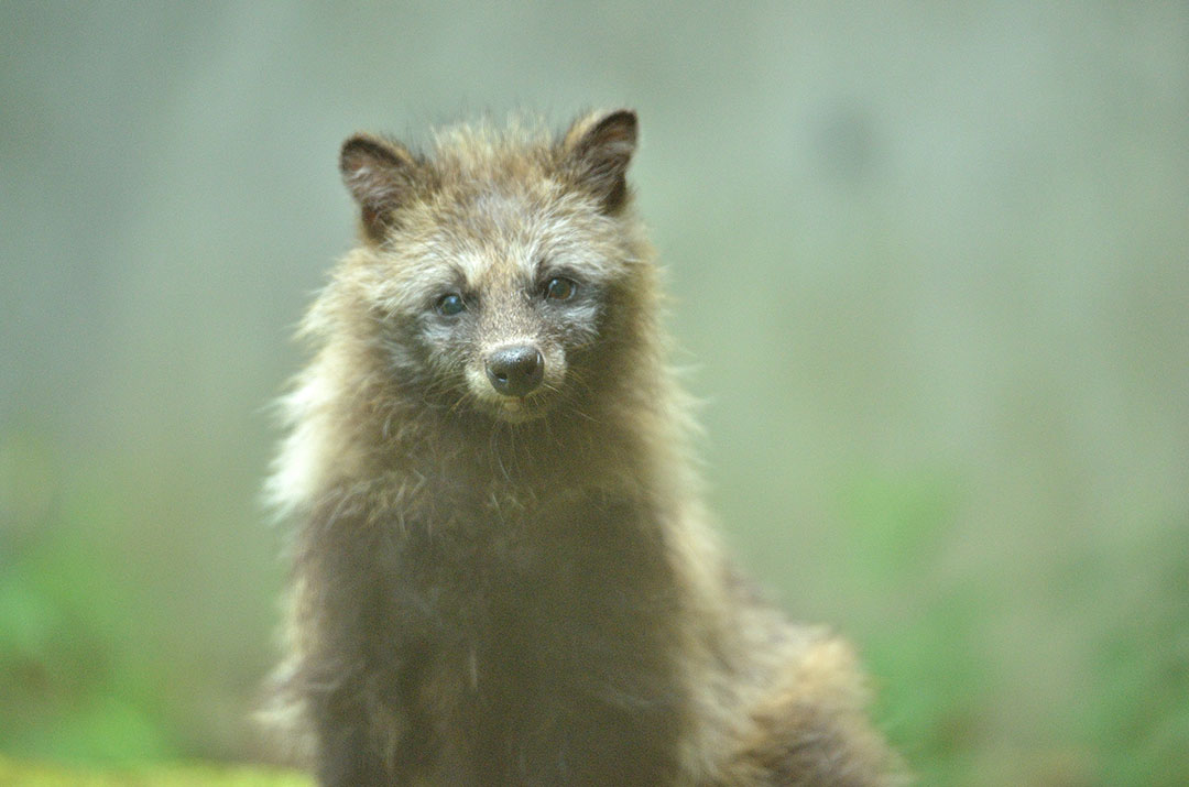 Raccoon dogs live close to human beings.