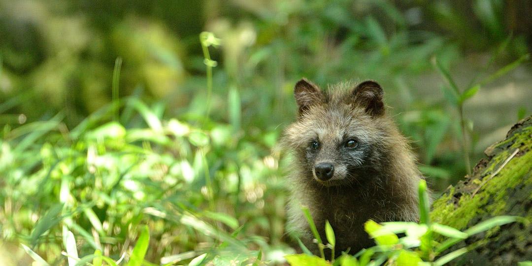 너구리는 실존하는 동물입니다. 주라시아에서 일본 고유의 동물을 만나보세요.