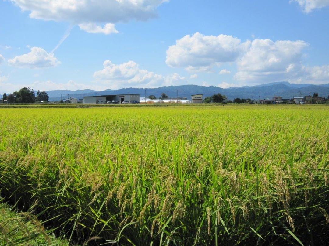 「金之恩惠」是將金芽米特有的魅力發揮至最大限度的稻米。