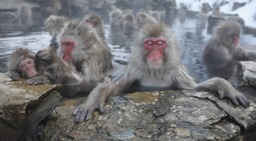 【地獄谷野猿公苑】世界でここだけ!? 温泉につかるニホンザルを観察しよう!