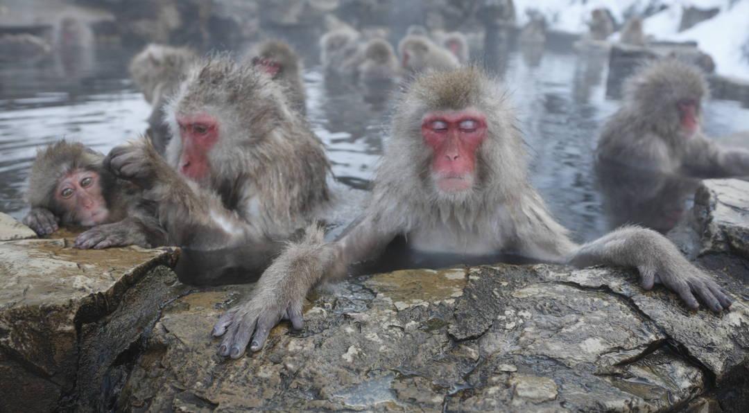 【地狱谷野猿公苑】全世界只有这里!?来观察泡温泉的日本猕猴!