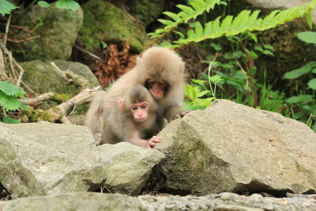 把注意事項也放進腦子裏,心情舒暢的來觀察猴子