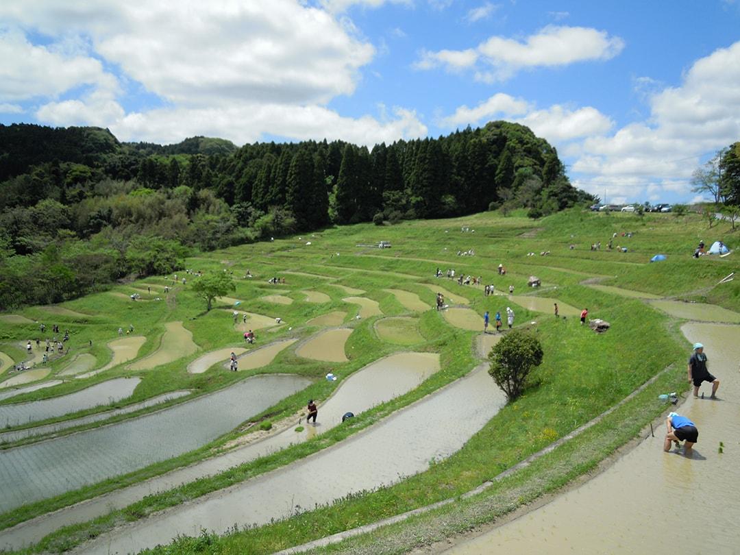 거의 빗물만으로 재배하는 최고의 자연파 오야마 계단식 논