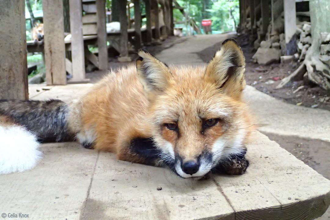 「狐狸」:藏王狐狸村的日本狐
