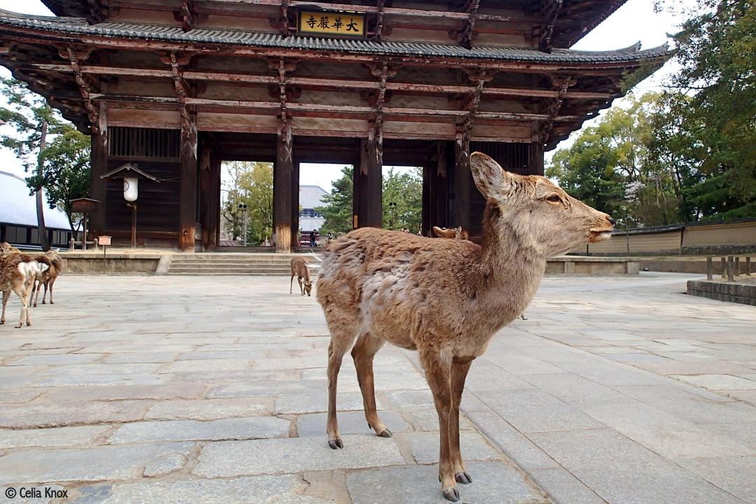 「鹿」:奈良公園的日本鹿