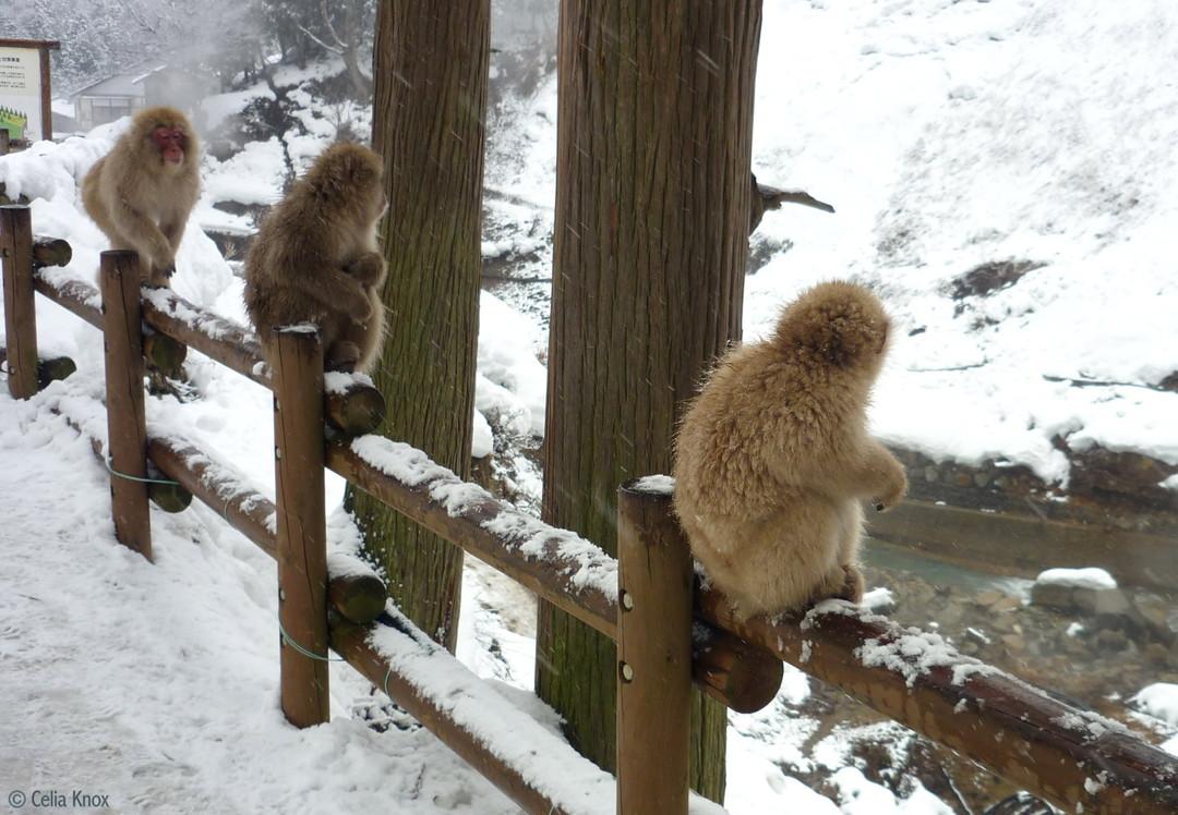 「猴子」:地獄谷野猿公苑的日本雪猴