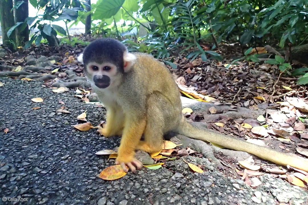 「松鼠猴」:Yaima村的松鼠猴