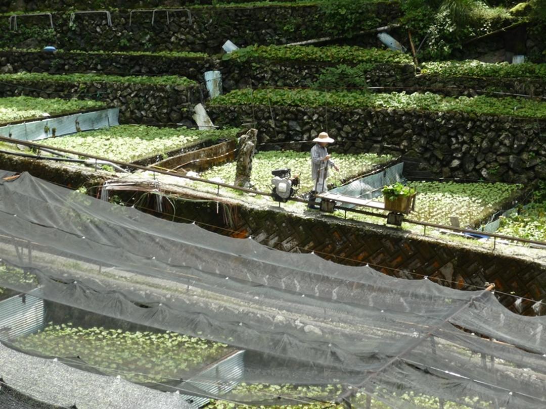 「畳石式わさび田」は、日本農業遺産に認定