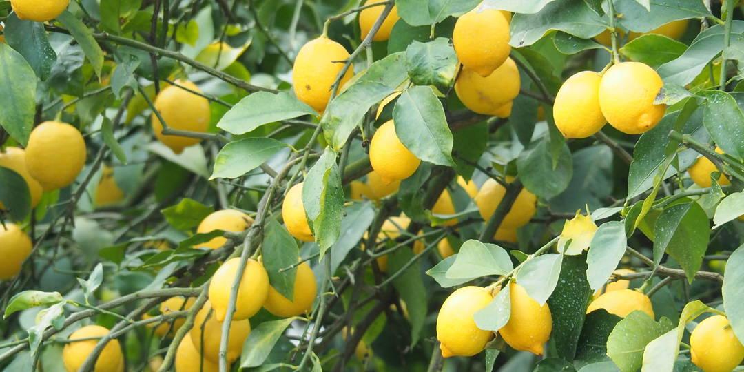 【尾道市は日本一のレモン生産地!】 ケーキから調味料、鍋にまで!? 瀬戸田産レモングルメ3選