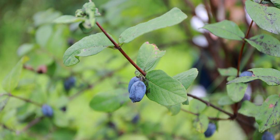正因嚴峻氣候才能生長茁壯的長生不老果實「藍靛果忍冬」