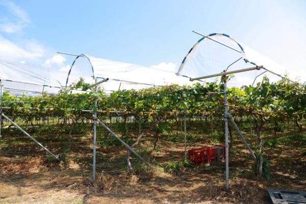 質の高いブドウをつくれば、醸造はシンプルでよい