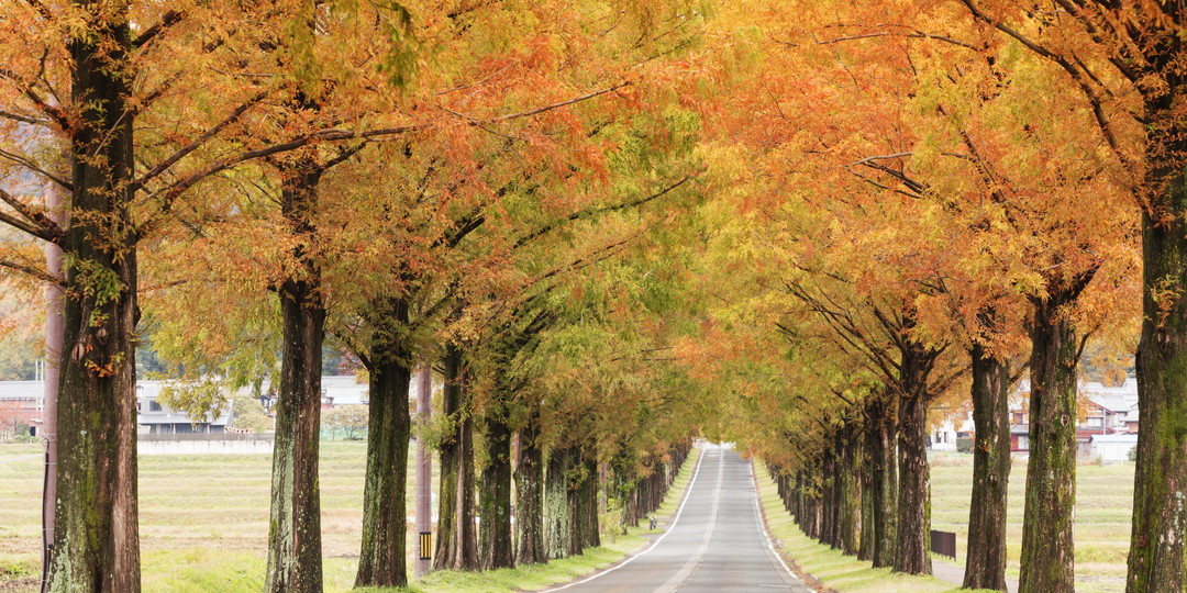 Avenue of Metasequoia