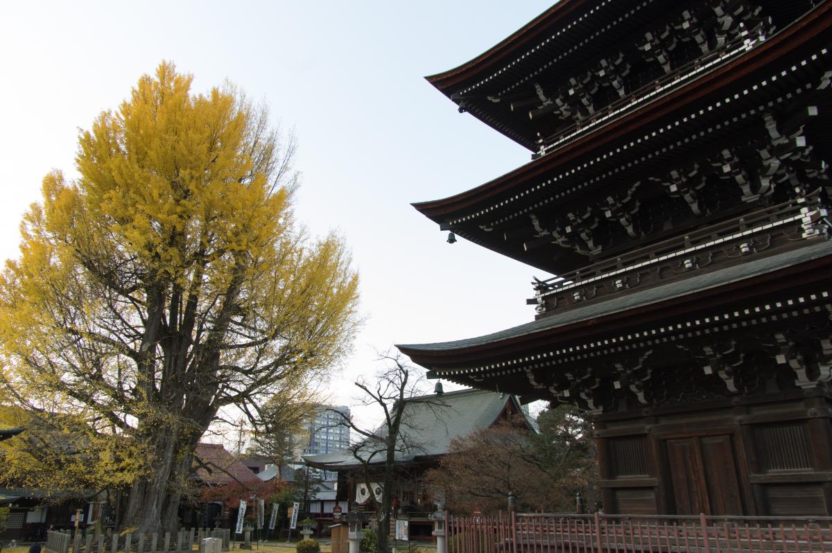 Huge ginkgo tree in Hida Kokubun-ji Temple